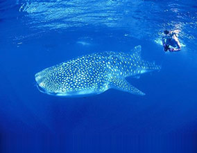 Man snorkelling with camera next to a whale shark